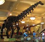 """Os fatos científicos, embora não necessariamente reprodutíveis, devem ser sempre verificáveis. Neste aspecto as ciências naturais geralmente estão em vantagem se comparadas às ciências sociais. Em destaque na foto, fóssil de um """"Apatosaurus"""" em um museu de história natural."""