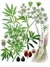 Cicuta é um gênero de plantas apiáceas que compreende quatro espécies de plantas muito venenosas. Além do seu uso como veneno para a ponta de setas, ficou conhecido como o veneno de Sócrates: Sócrates, quando foi condenado à morte, foi forçado a tomar um chá de cicuta. <br> <br> Palavras-chave: cicuta, Sócrates, ética, veneno, planta, execução, chá, filosofia da ciência