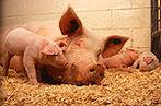 Se soubéssemos que a alma de um homem estava em um dos nossos porcos, seria necessário que chamemos o porco um homem? <br> Locke afirma que o homem é um animal e, portanto, individualizado como outros seres vivos. Então, homem se refere a um corpo vivo de uma forma particular. Ele defende a sua própria definição, que envolve a distinção entre &quot;homem&quot; e &quot;pessoa&quot;, usando uma variedade de experiências de pensamento e deduzir consequências inaceitáveis &#8203;&#8203;a partir de definições concorrentes. Ele aponta, por exemplo, que enquanto aqueles que individualizam o homem exclusivamente em termos de &quot;posse de uma alma&quot; podem explicar a igualdade do homem, da infância à velhice, se aceitarem uma doutrina da reencarnação, a sua definição requer que a mesma alma em diferentes organismos seja o mesmo homem, tanto quando o homem-criança e homem-velho. Se a doutrina da reencarnação permite que a alma de um homem para renascer no corpo de um animal, como um porco, se soubéssemos que a alma de um homem estava em um dos nossos porcos, seria necessário que chamemos o porco um homem.